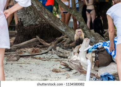 An angry looking white face monkey in Manuel Antonio National Park in Costa Rica begging for food  near the tourists at the beach.