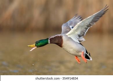 Angry Mallard Duck male in flight.