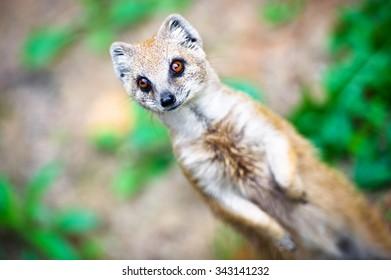 Angry mongoose