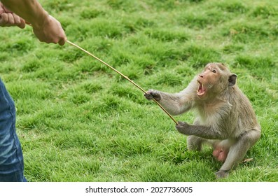 An angry monkey shows his scary teeth as he fights over a stick with a man.