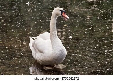 Angry mute swan (Cygnus olor) waddles in water and makes threatening noise for territorial defense and protection of the cygnets. Waterfowl of Anatidae species in pond in Rastatt, Germany