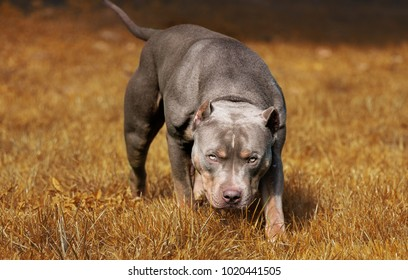 Angry Pitbull American Bully - Shutterstock ID 1020441505