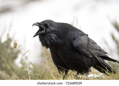 Angry raven screaming on Hayden Valley at Yellowstone National Park