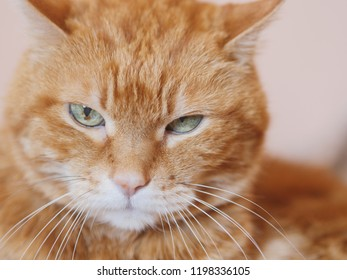 Angry red cat. Soft focus on eyes.