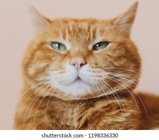 Angry red cat. Soft focus on nose.