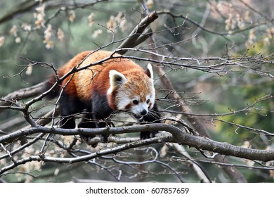 Angry Red panda (Ailurus fulgens) balancing on a branch