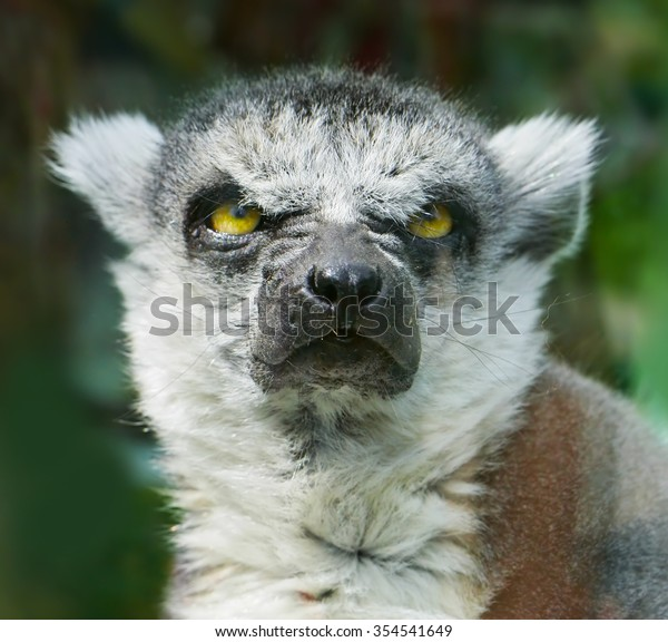 Angry Ring-Tailed Lemur