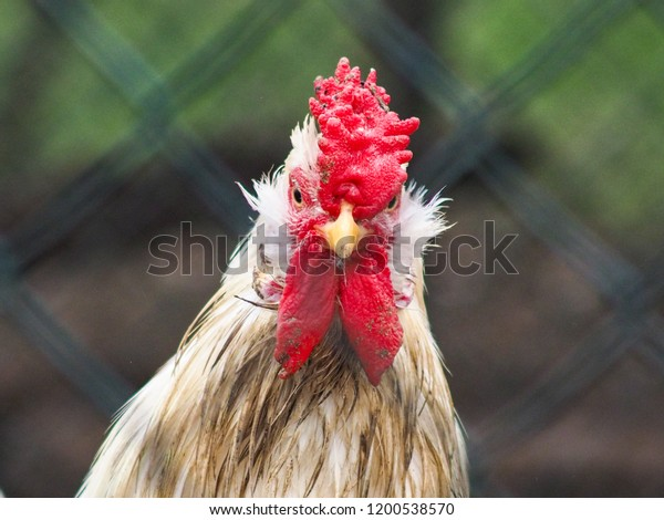 Angry rooster portrait, looking straight towards the camera