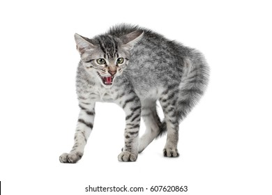 Cat Stock Quote | Royalty Free Hissing Cat Stock Images Photos Vectors Shutterstock