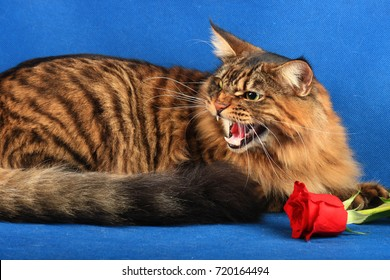 Angry Siberian cat and red rose  half-breed maine coon and toyger