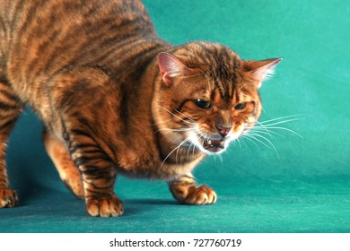 Angry striped short haired cat on a green background