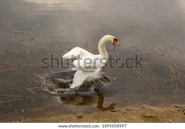 angry-swan-jumping-on-water-600w-1895058