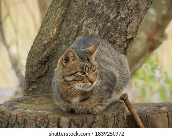 angry tabby baleen cat sitting on a tree stump close-up