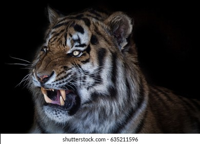 Angry Tiger Images Stock Photos Vectors