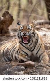 angry tiger face portrait with expression mouth open showing canines during summer season safari to buffer zone at ranthambore national park or tiger reserve, rajasthan, india - panthera tigris tigris