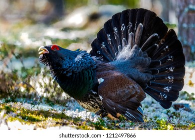 Angry Western Capercaillie