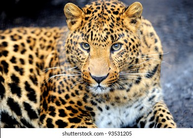 Angry wild leopard on black background