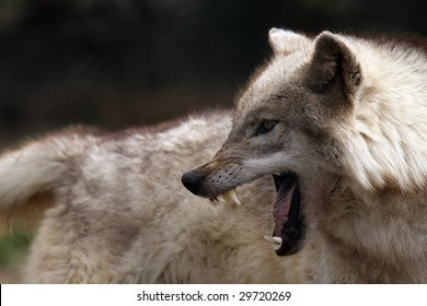 Angry Wolf Images, Stock Photos & Vectors   Shutterstock