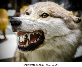 Angry Wolf showing his teeth.