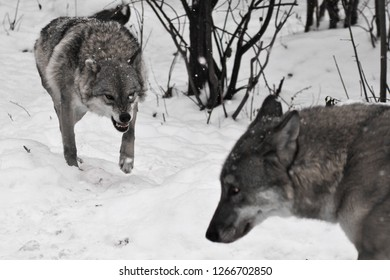 Angry wolf snarling runs to her stupid husband wolf, family scandal, focus on the wolf.