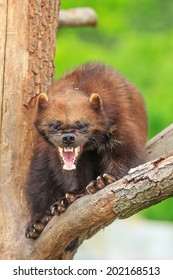 angry wolverine baring teeth