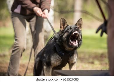 Angry working line German shepherd barking