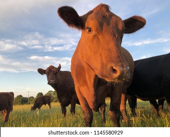 an angus beef in the evening sun is looking into the camera on a field with blue sky, clouds
