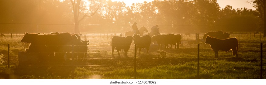 Angus Cattle Farming