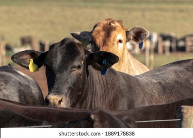 angus cattle on confinement in Brazil