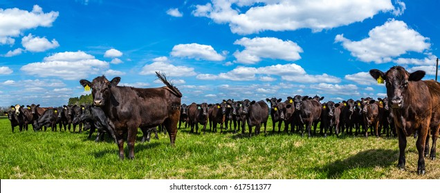 Angus cattle in a pasture in Southeastern Georgia.