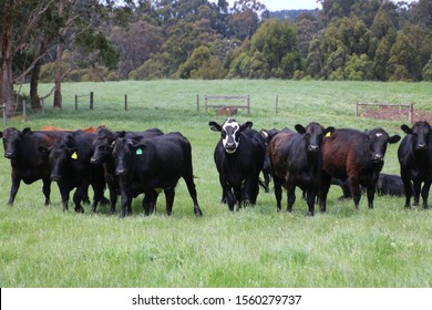 angus charolais friesian cross cattle being inquisitive