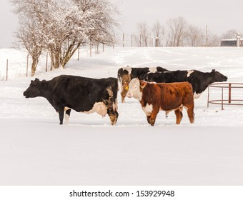 Angus cow grazing in the snow