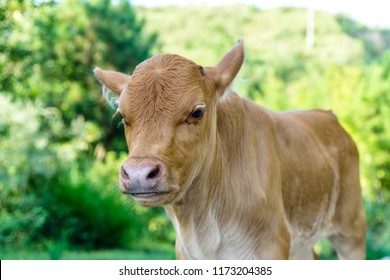 angus cow on pasture