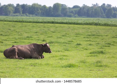 ฺBlack angus cows in a grassy field on a bright and sunny day . ฺBlack angus Cows graze. Cows on a farm. cow barn farm. black angus steak. Morning Sunrise with Cows. Black angus on a green field barn.