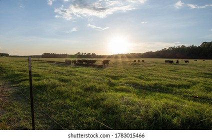 Angus crossbred stockers in a summer pasture near a feed trough, backlit by low sunlight as viewed over a barbed wire fence.