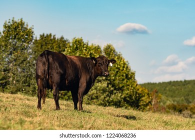 Angus heifer standing on a hillside with blue sky background.