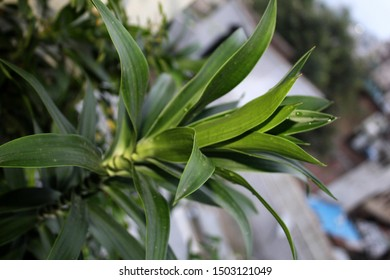 angustifolia, Dracaena reflexa, D.marginata, Asparagaceae plant nature,growing in an organic home garden in India-10 September 2019