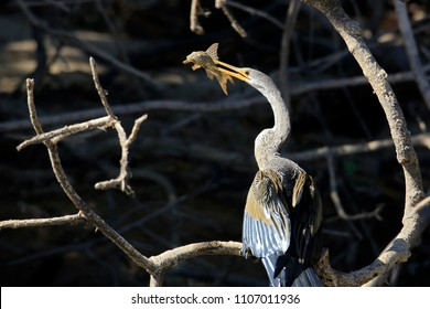Anhinga (aka Snakebird, American Darter) with Prey, with Its Beak Pierced through a Catfish. Pantanal, Brazil