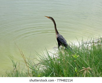 Anhinga Bird Ding Darling Wildlife Refuge Sanibel Florida Bailey Homestead Preserve