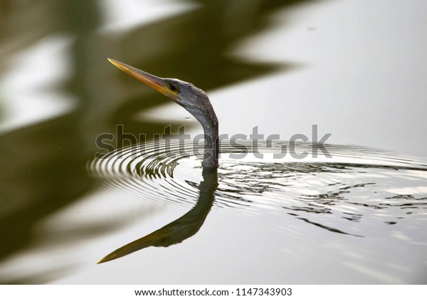 Anhinga bird with a reflection fishing in the lake