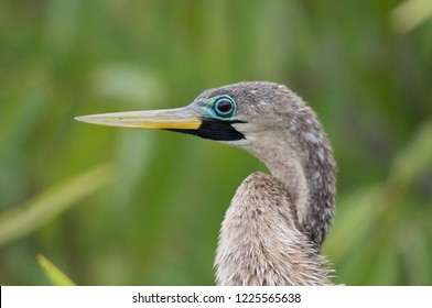 The Anhinga is in its breeding plumage when it has a blue ring around the eyes.