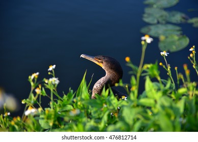 Anhinga in Everglades national park