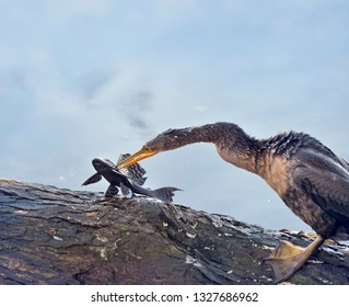 Anhinga with a fish on a tree branch