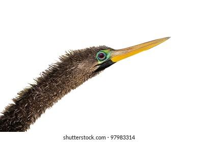 Anhinga, head with long neck,  isolated on white. Latin name - Anhinga anhinga.