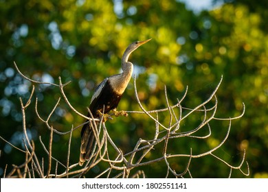 Anhinga sitting on the tree on the banch of lake in Oaxaca state of Mexico