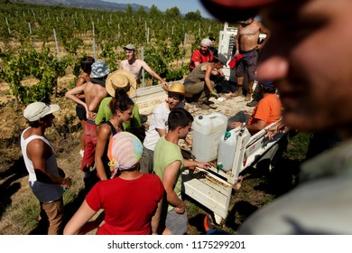 ANIANE,FRANCE-SEPTEMBER 9,2019. Annual grape harvest in southern France in Languedocy