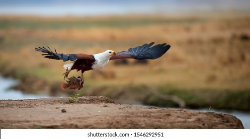 Animal action photo. African fish eagle flying with tilapia fish in claws, directly to camera above sand rim of Zambezi river bank and green flood plains in background. Mana Pools, traveling Zimbabwe.