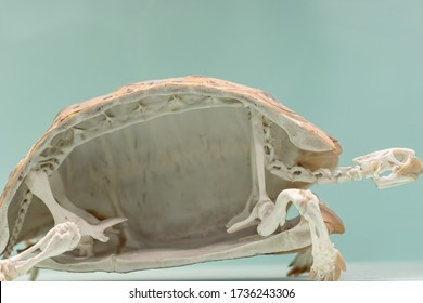 Animal adaptation. Cross section of a tortoise skeleton. Reptile shell skeletal specimen in close up against plane background with copy-space.
