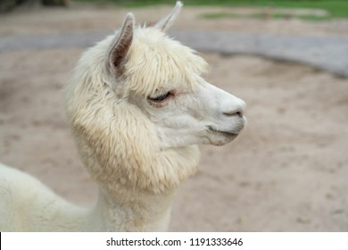 Animal Alpaca white