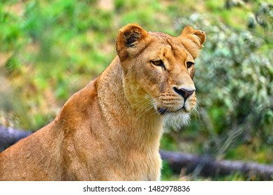 Animal - beautiful lioness. Colorful nature background.